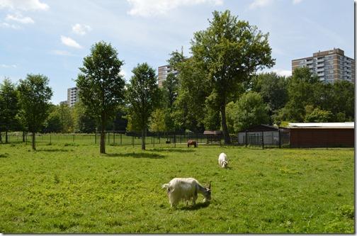 Rembrandtpark goats