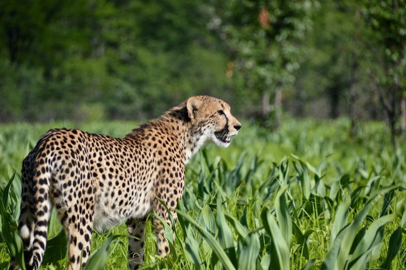 cheetahs have been reintroduced