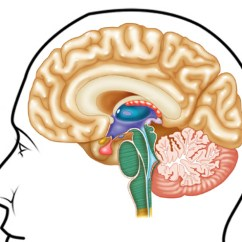 Brain Diagram Without Labels Bremas Reversing Switch Wiring Traffic Club Untitled Document Lpc1 Clpccd Cc Ca Us Atlas Axis Unlabeled