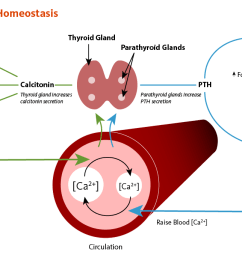 figure 1 calcium homeostasis calcium concentrations in the blood and fluid that surround cells [ 1200 x 687 Pixel ]