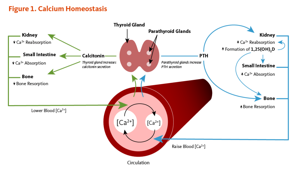 medium resolution of figure 1 calcium homeostasis calcium concentrations in the blood and fluid that surround cells