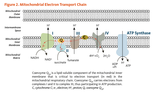 small resolution of figure 2 mitochondrial electron transport chain coenzyme q10 is a lipid soluble component