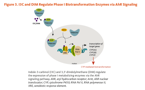 small resolution of figure 3 i3c and dim regulate phase i biotransformation enzymes via ahr signaling indole