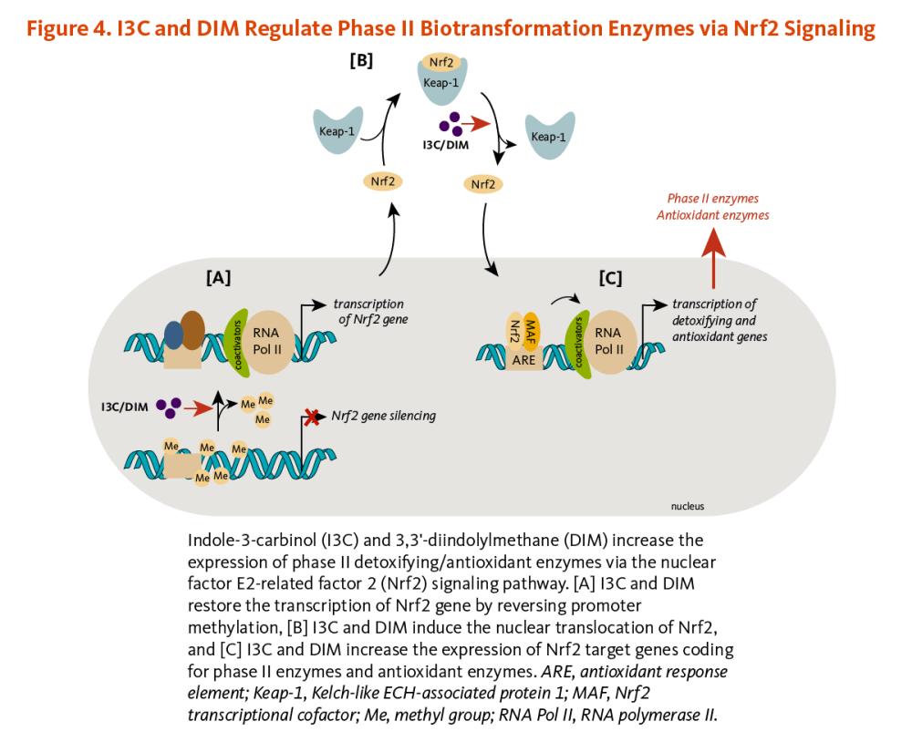 medium resolution of figure 4 i3c and dim regulate phase ii biotransformation enzymes via nrf2 signaling indole