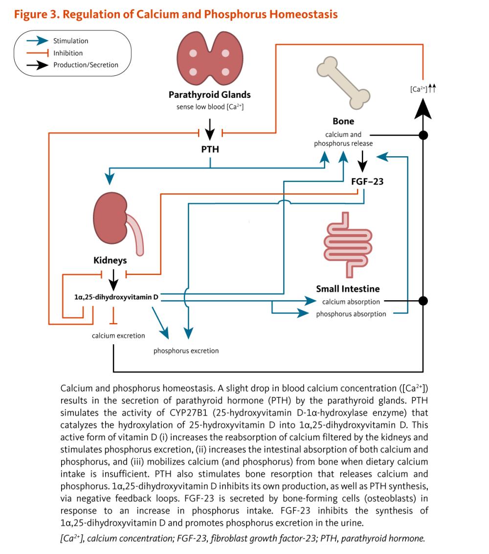 medium resolution of figure 3 regulation of calcium and phosphorus homeostasis calcium and phosphorus homeostasis a
