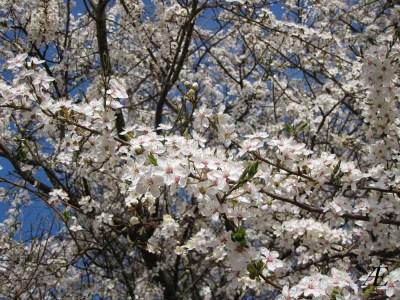 Blomstrende træ, forår, hvide blomster