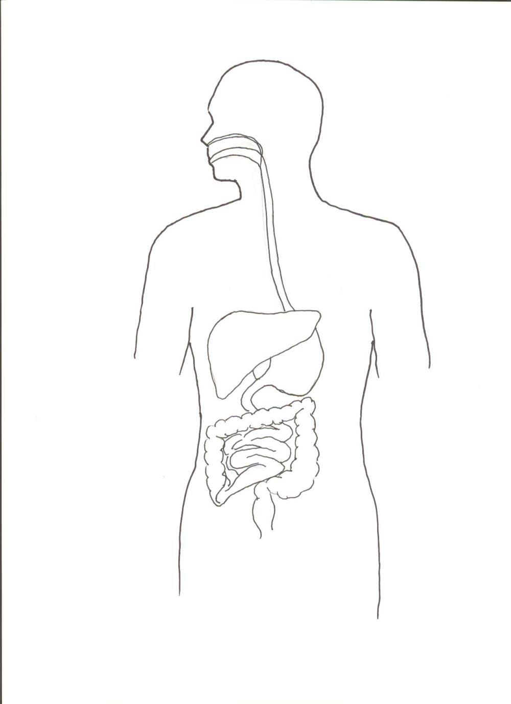 medium resolution of diagram of digestive system jpg format