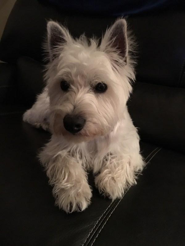 Westies Lubbock Tx Westie Puppies - Year of Clean Water