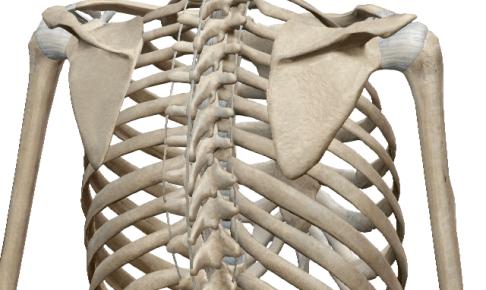 脊柱圧迫骨折のリハビリについて療活式に考えてみる~肩甲骨の場合~