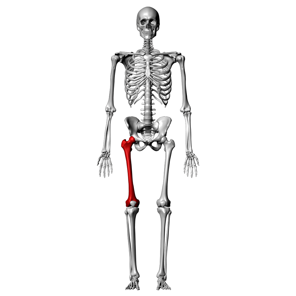 Femur Labeling Quiz