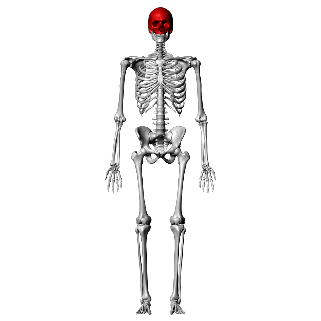 hight resolution of skeleton