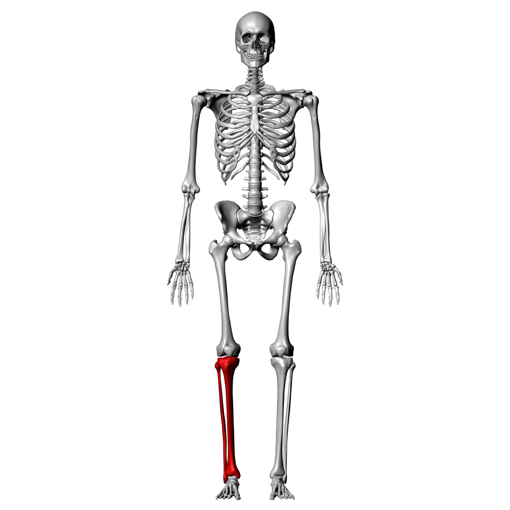 Tibia And Fibula Bone Worksheet