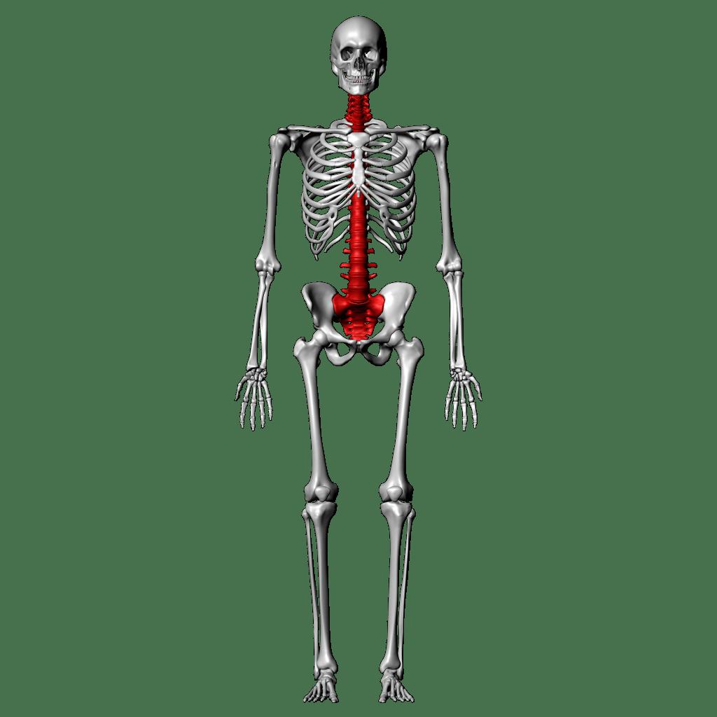 Thoracic Vertebrae Diagram Labeled