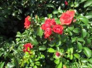 Shrub Rose 2