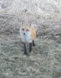 Red Fox Under Deck Mar 7 2016