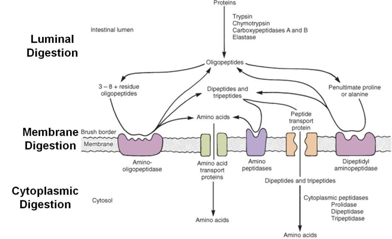 protein-absorption