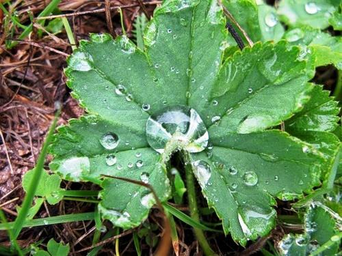 Утренняя роса на листиках земляники