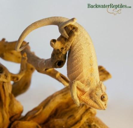 male-or-female-chameleon-1