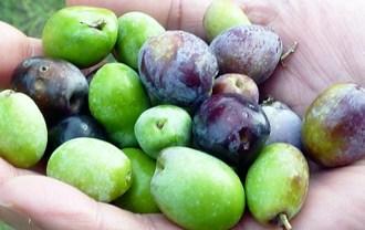 有機栽培のオリーブの実(マイアーティカオリーブ)