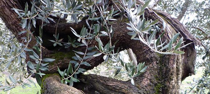 ディベンガ農園のシンボルオリーブの木