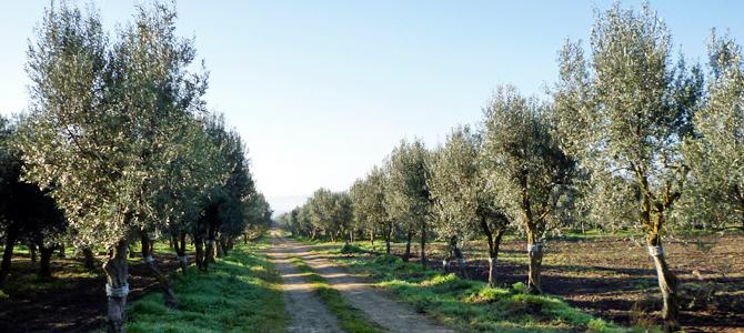 チプレッシーノの並木