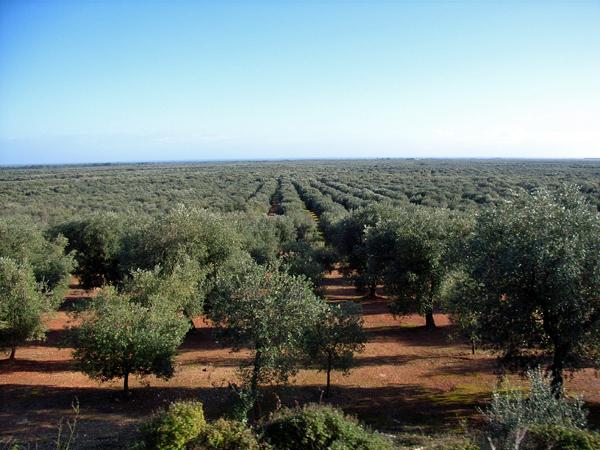 サレント半島のオリーブ畑