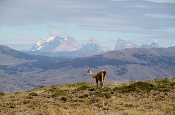 Guanaco Cerro Frias Calafate Patagonia Argentina