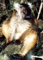 Photo d'une femelle lémur noir