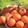 渋柿を焼酎で渋抜きする時の度数や期間、やり方のポイントをご紹介!