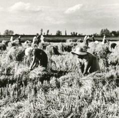 contadine grano
