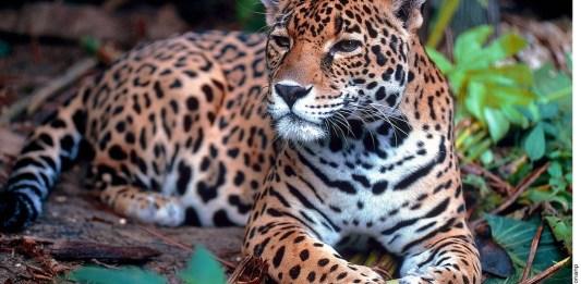 Temen por fauna con obras de Tren Maya