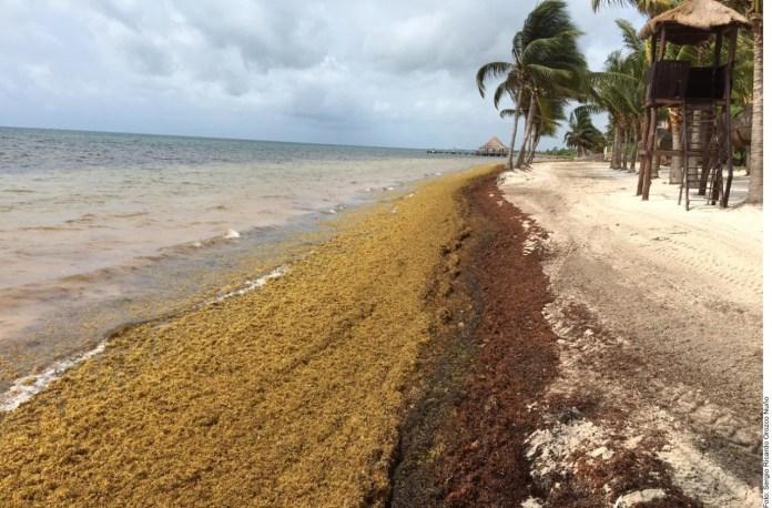 ¡Sargazo al rescate! Combate alga cambio climático