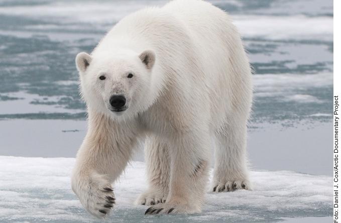 Osos polares podrian extinguir_1150345
