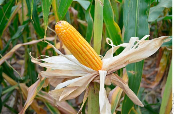 Suben 35% precios de granos