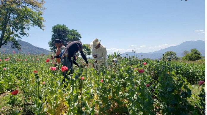 'No podemos dejar cultivo de amapola'