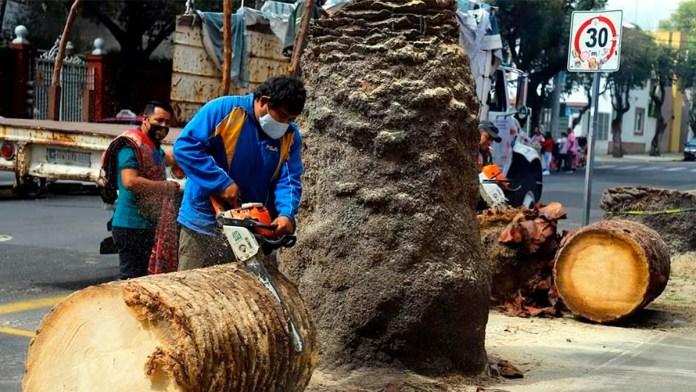 Derriban palmeras muertas en Museo Frida Khalo