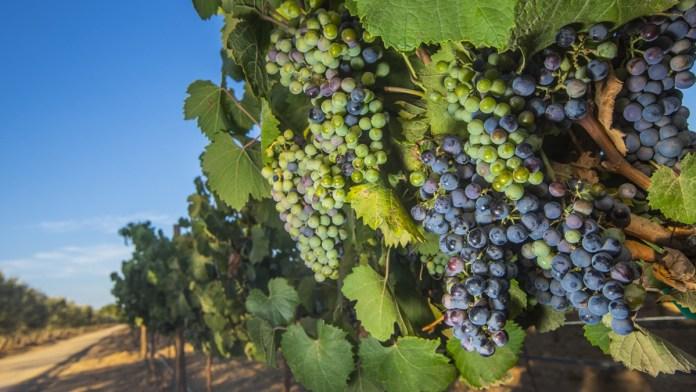 Anticipa sector vitivinícola acelerado crecimiento