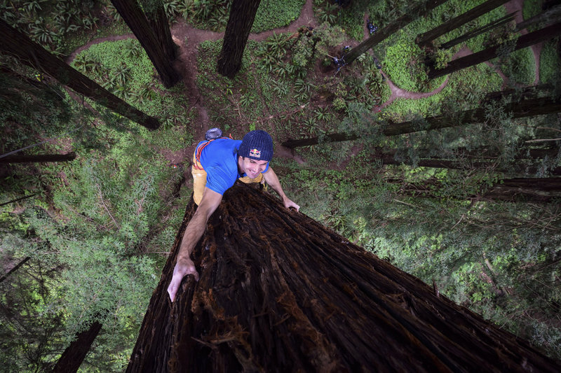 Chris Sharma climbs a Redwood tree in Eureka, CA, USA on 18 May, 2015. (Red Bull)