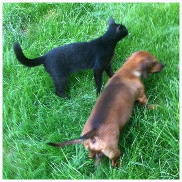 Cat and dog playing along in the green grass