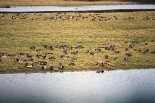 Widgeon flock