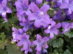 Violet Campanula