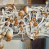 Penis envy mushroom