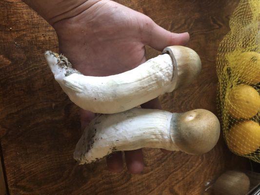 Albino Penis Envy Mushrooms