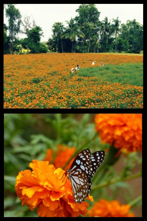 Marigold butterfly