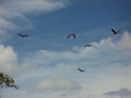 Macaws Costa Rica Macaws Osa Peninsula