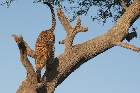 Leopard making good his escape
