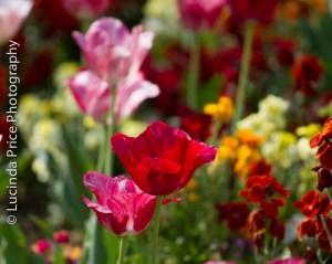 tulips-16