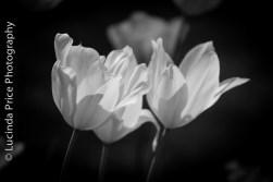 tulips-9