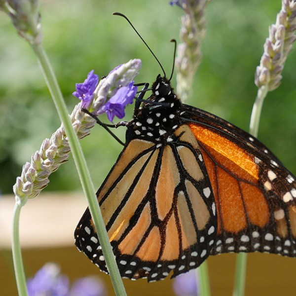 Monarch Butterfly Life Cycle Stages Photos and Videos
