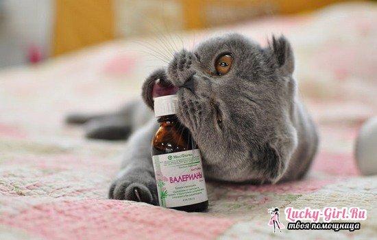 Как понять что кошка отгуляла. Когда кошка начинает просить кота первый раз и как это понять? Течка как физиологический процесс